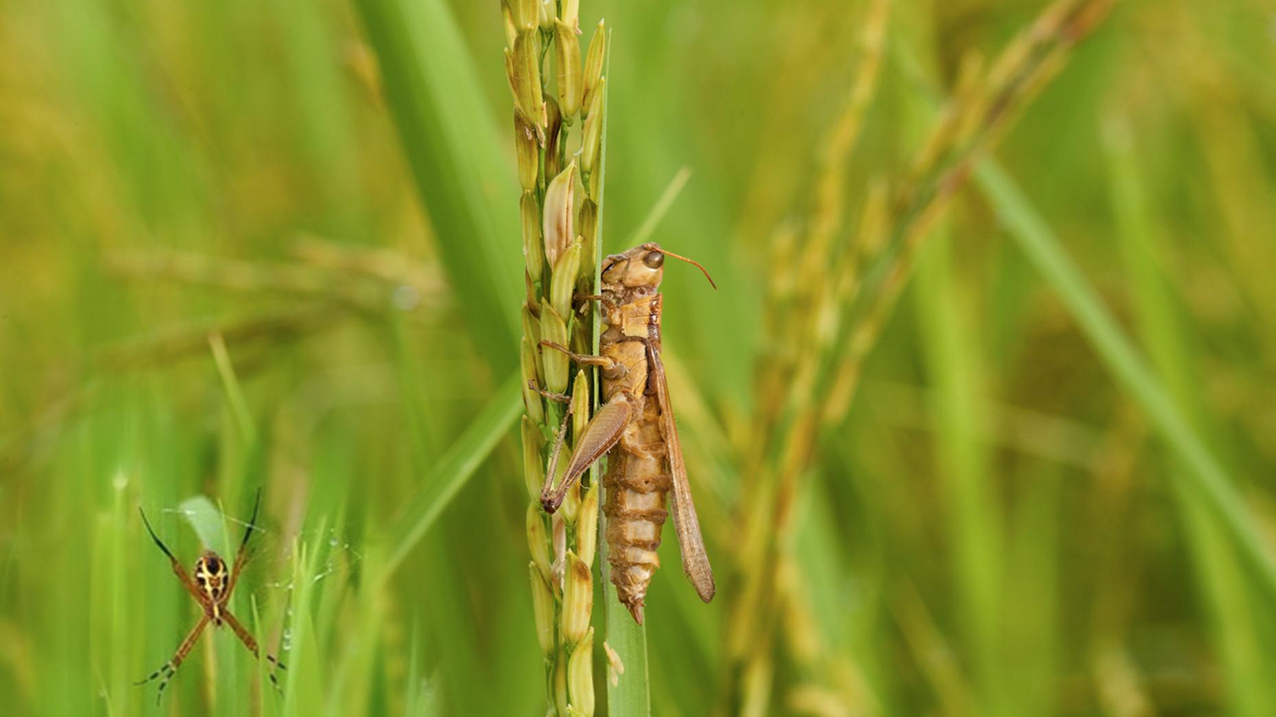 Lawan Hama Dengan Serangga